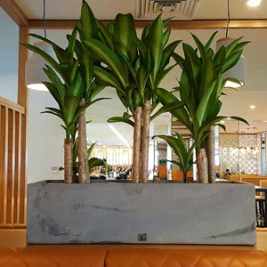 hire plants for workplaces event decoration hire sunshine-coast